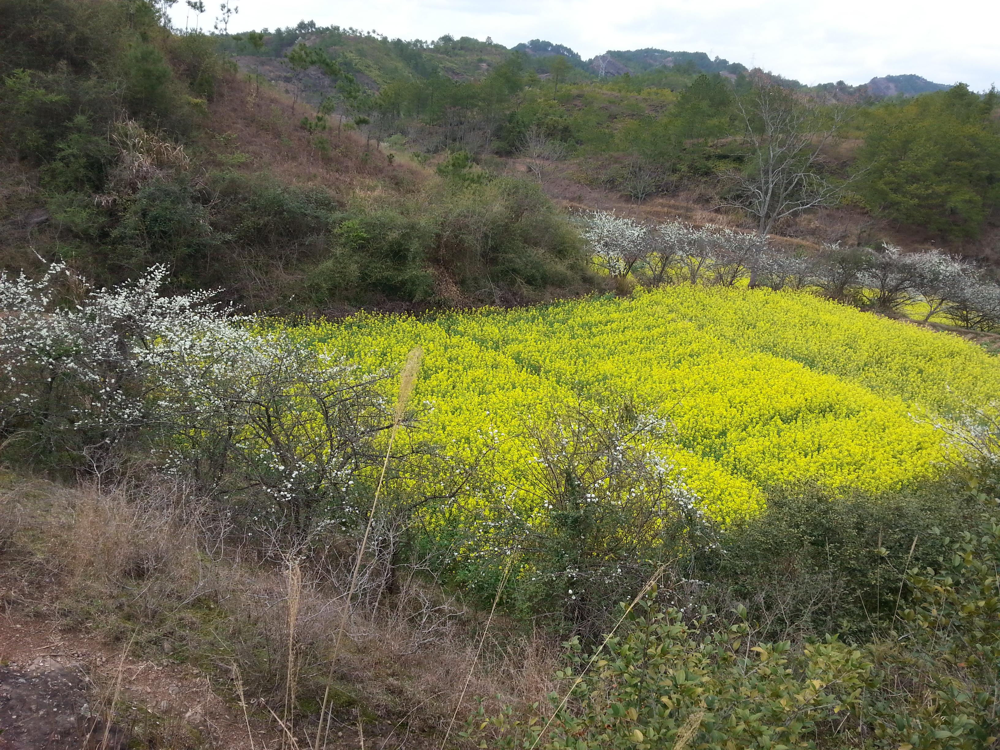 家乡的油菜花,比颐和园的迎春花漂亮多了-:)